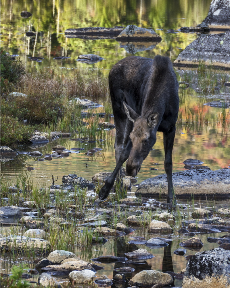 The moose calf carries the promise of future sightings of Maine's signature beast.
