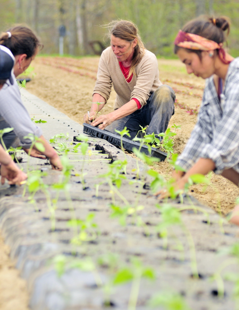 DRESDEN, ME - MAY 15: Jan Goranson, center, and her crew transplant seedlings that had been started in a greenhouse out in a field on Thursday May 15, 2014 at Goranson Farm in Dresden. Dalziel Lewis is at left and Camilla Jones is on right. (Photo by Joe Phelan/Staff Photographer)