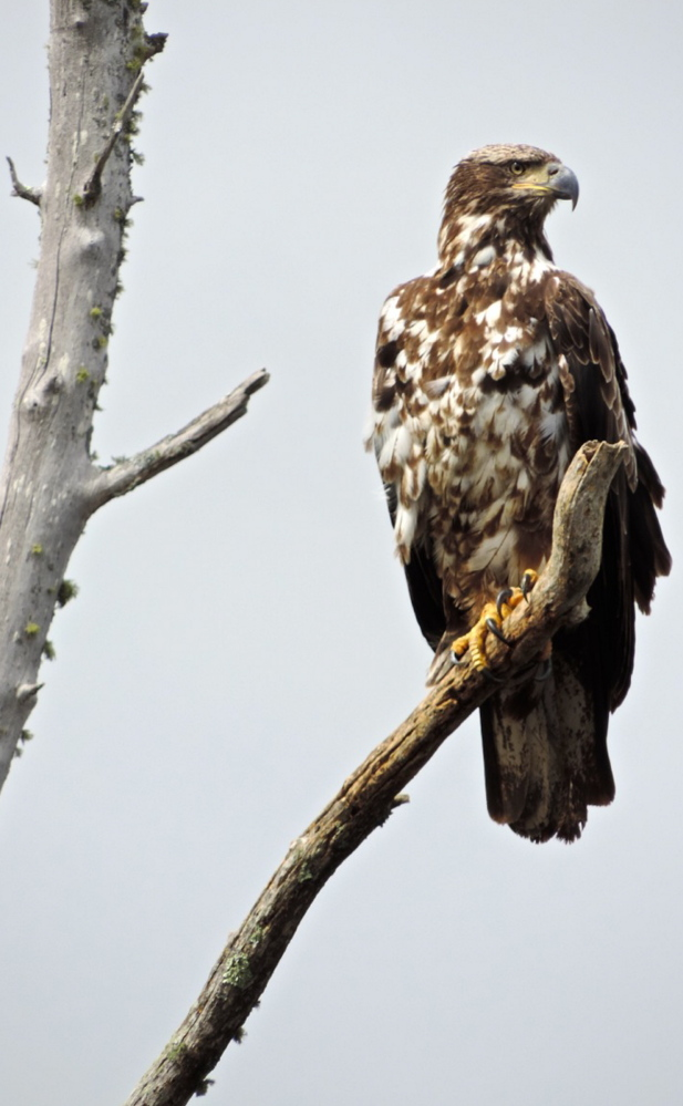 Bald eagles can be a familiar site because the ample freshwater provides the raptors will plenty of prey.
