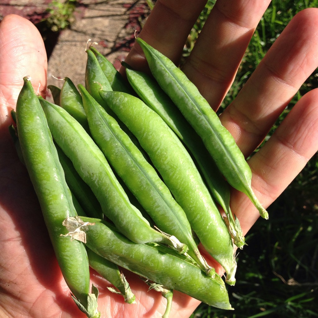 An attempt at peas had precious little yield in this front-yard garden, stunting after an early growth spurt.
