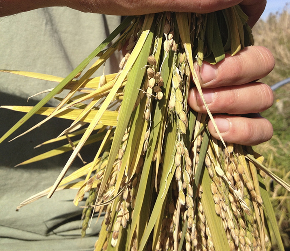 Some rice harvested in October 2013. Mary Pols/Staff Writer
