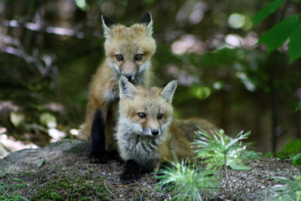 It's a wonderful day in Bruce Small's neighborhood in Raymond, where the newest residents include a couple adorable red fox kits who have taken to playing outside the den by the road and seem fearless of the people who stop to watch them. Any free-range chickens in the vicinity better take notice!