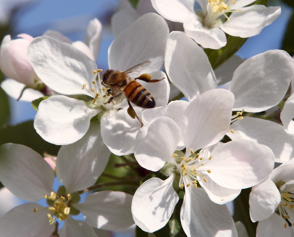 A bee collects pollen from chokecherry blossoms in Fairbanks, Alaska. Officials think a mite infestation and pesticide exposure are contributing to the honeybee decline.