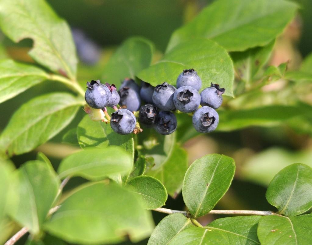 Maine high bush blueberries