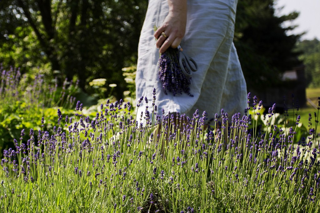 Lorie Costigan carries a bunch of freshly cut lavender at Glendarragh Lavender Farm, which she owns and operates at her home in Appleton.