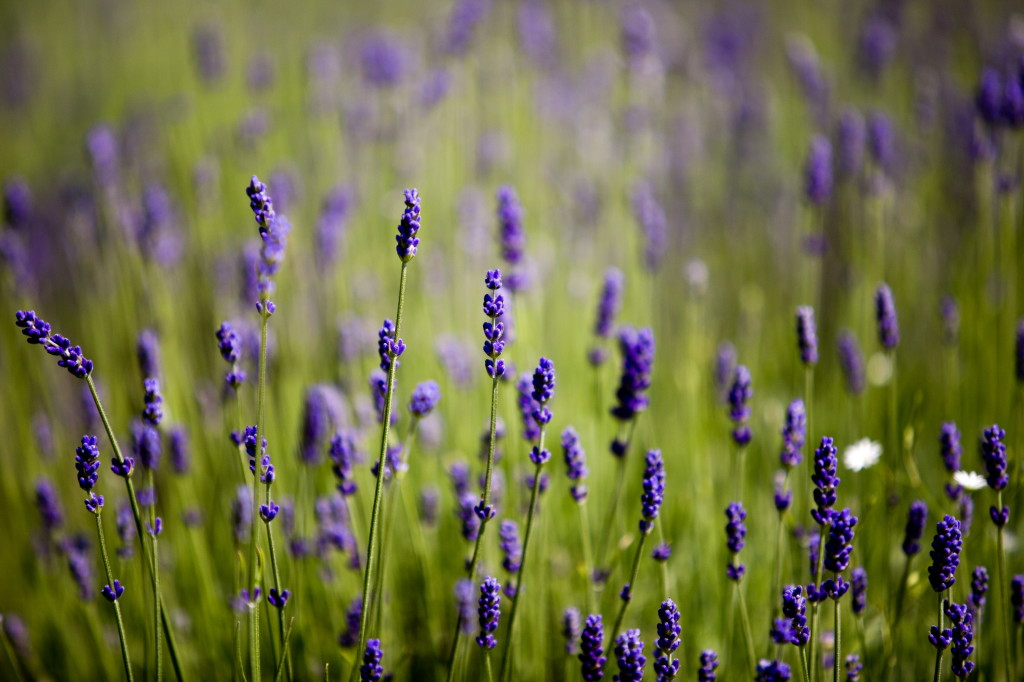 A field of lavender is seen July 2 at Glendarragh Lavender Farm in Appleton.