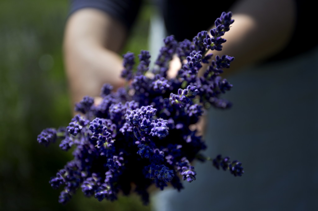 Lorie Costigan holds a bunch of freshly picked lavender.
