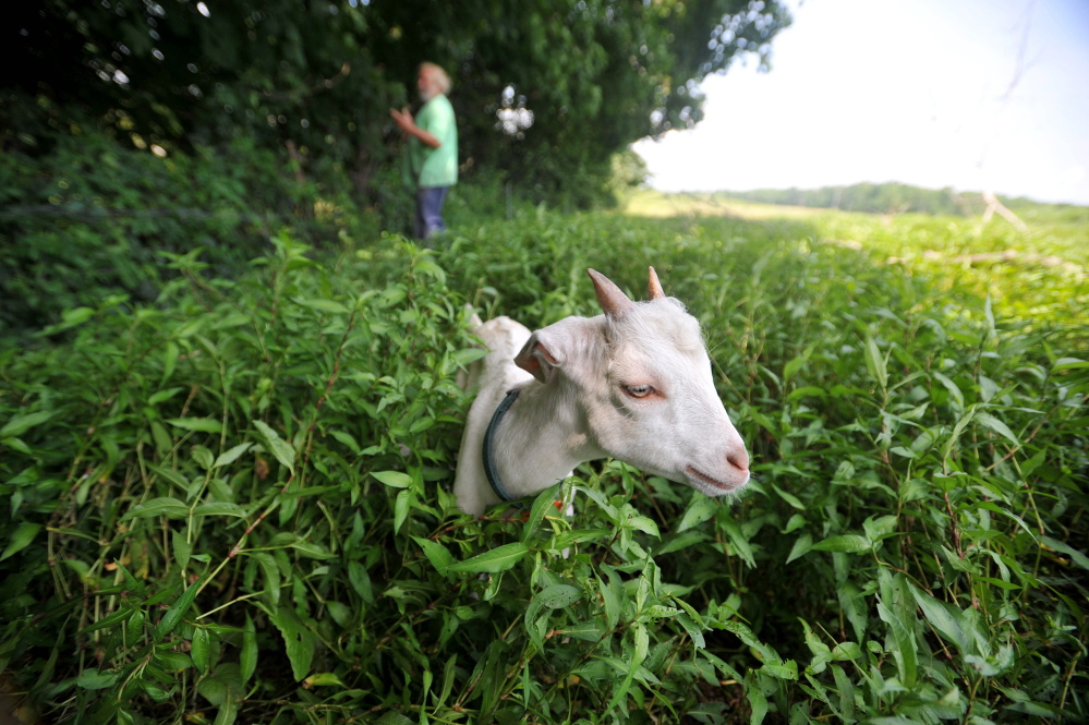 Staff photo by Michael G. Seamans Mark Gould, 61, background, tends to his goats Tuesday at his Norman Road farm in Sidney. Gould's goats have been escaping to land beside Interstate 95 through a state-built fence.