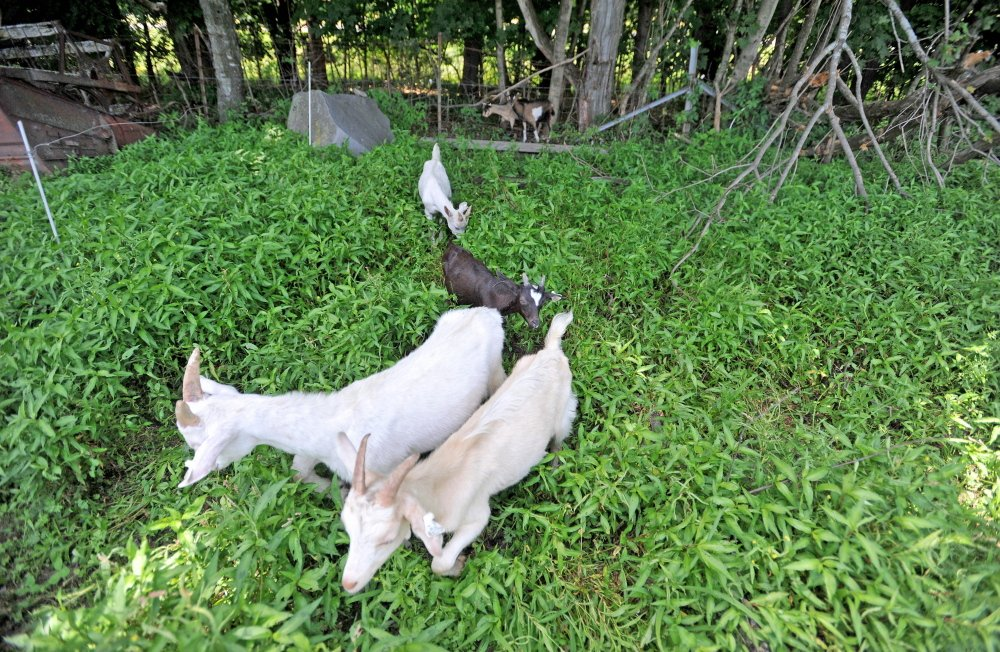 Staff photo by Michael G. Seamans Goats enter the fields of Mark Gould's Norman Road farm in Sidney on Tuesday. Gould's goats have been escaping through a state-built fence to land beside Interstate 95.