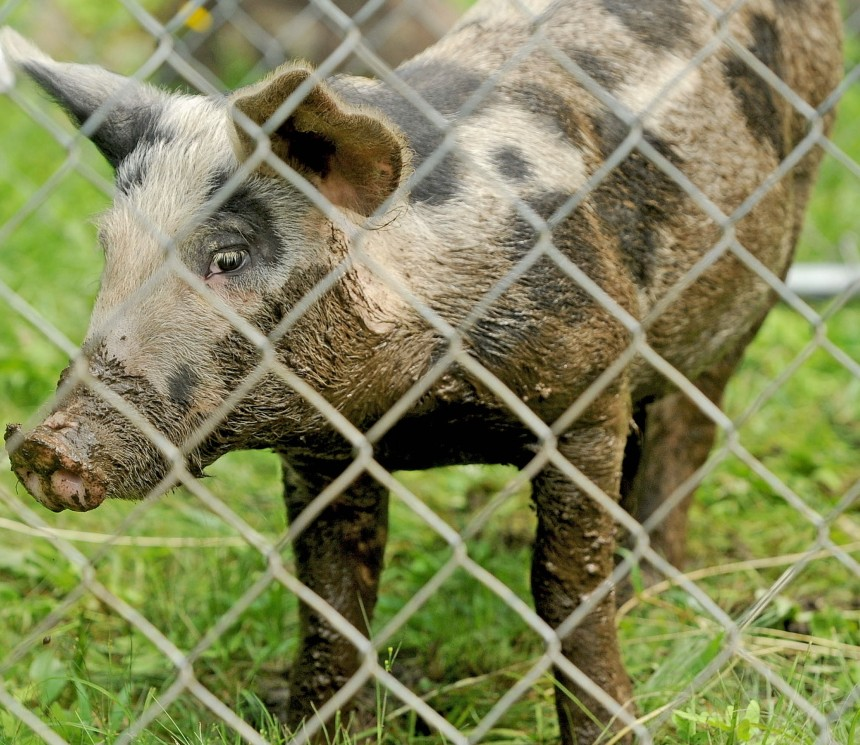 A 4-month-old pig adjusts to captivity after eight weeks of roaming the Oakland area. The town animal control officer and an expert from the U.S. Department of Agriculture captured the animal Tuesday by using bait and a trap. Michael G. Seamans / Central Maine Newspapers