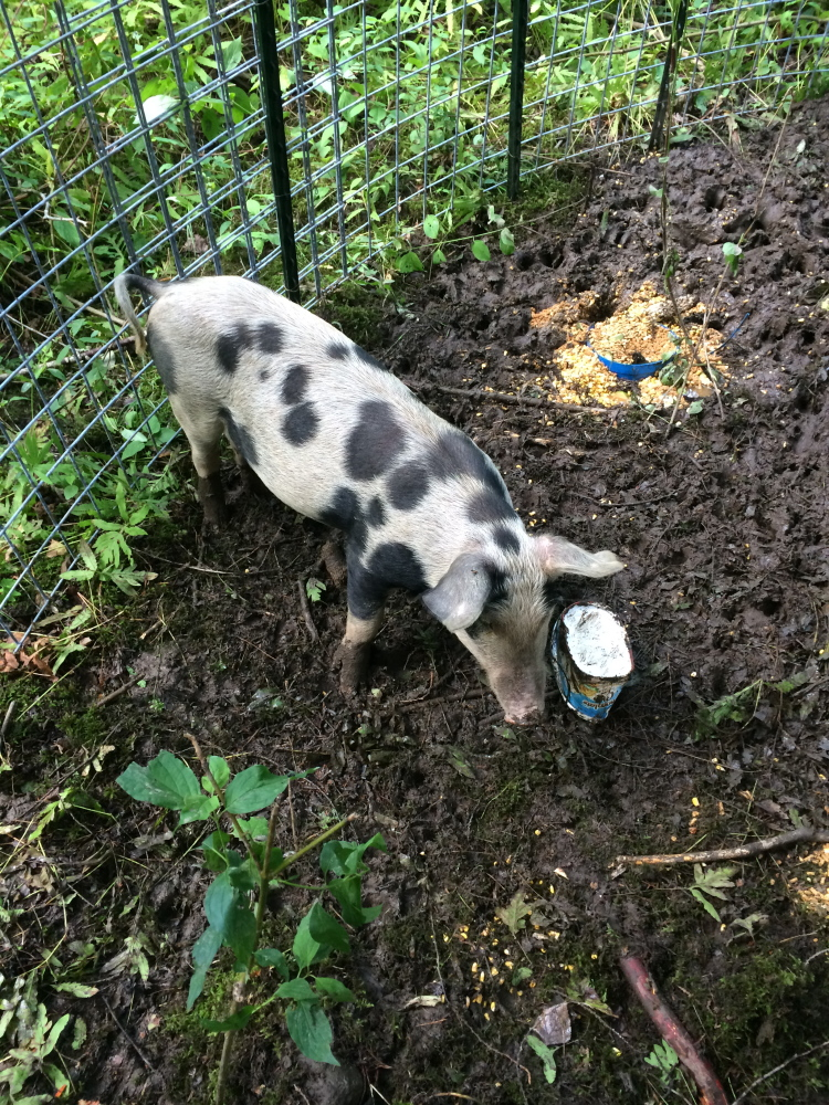 A domestic pig that escaped from its pen on an Oakland farm has been captured after several incidents in which it harassed people on a walking trail. Contributed photo