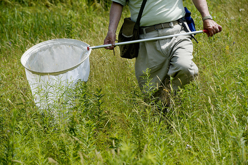 Gobeil walks through the tall grass in a field along the Sylvan trail in Saco while serving butterflies Tuesday. Shawn Patrick Ouellette/Staff Photographer