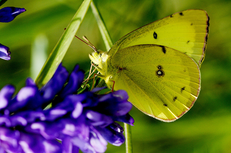 A Clouded Sulphur seen along the Sylvan trail in Saco Tuesday. Shawn Patrick Ouellette/Staff Photographer