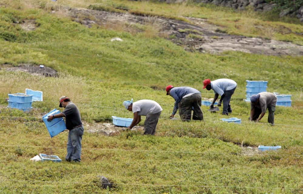 Workers rake blueberries in a Maine field.