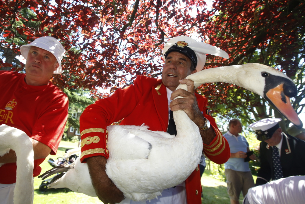 The Queen's Swan Marker David Barber carries a swan back to the river during the annual swan upping on the River Thames near Windsor, England, on Monday.