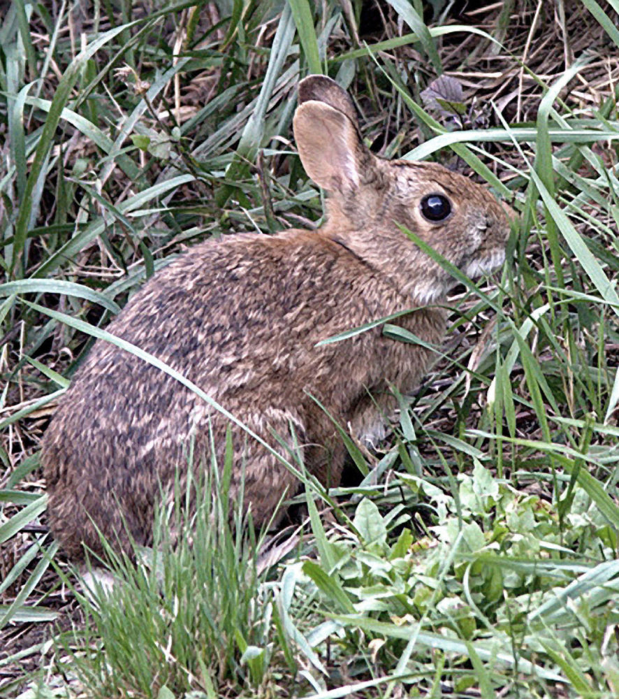 The New England cottontail depends on low-growing shrubs in younger forests to survive. It's on the endangered species lists of Maine and New Hampshire and is extinct in Vermont.