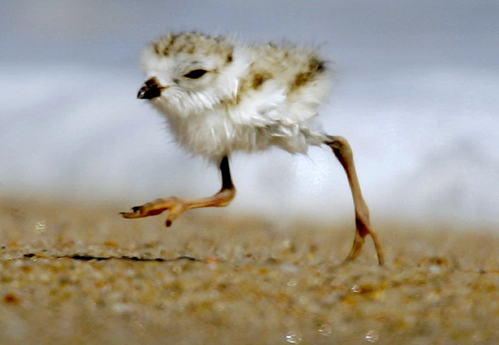 A two-day-old piping plover runs along a beach ahead of waves lapping on the shore in the Quonochontaug Conservation Area in Westerly, R.I.