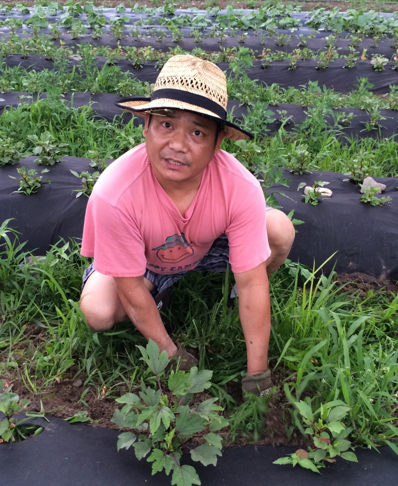 Sushi chef Ye Myint pulls weeds around a gongura plant, a popular cooking green in his native Myanmar.