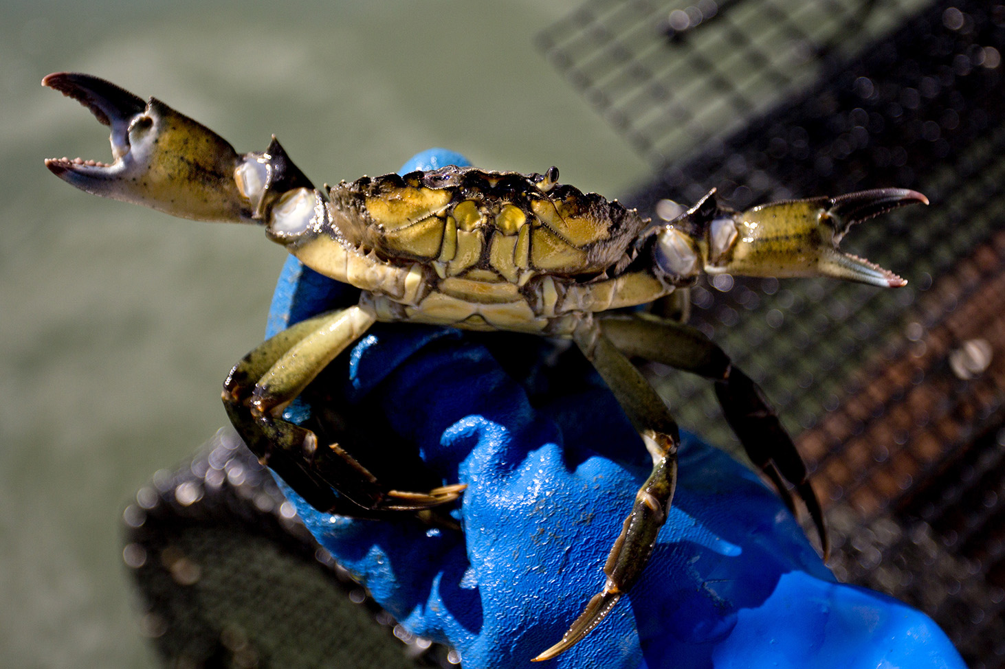 Maine trying to turn back green crab invasion