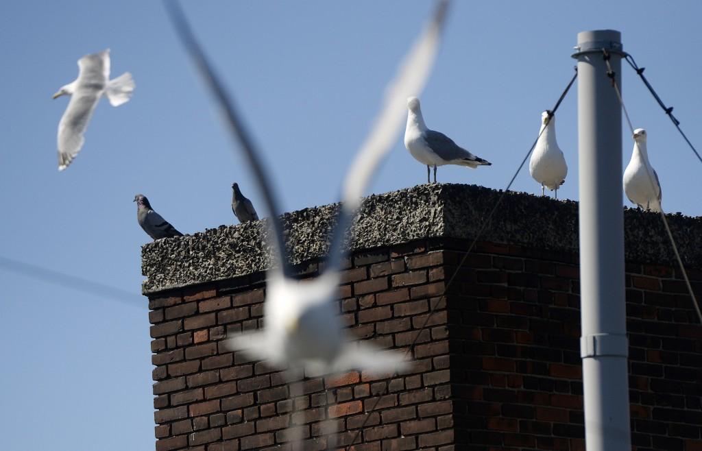 Study of Urban Seagulls