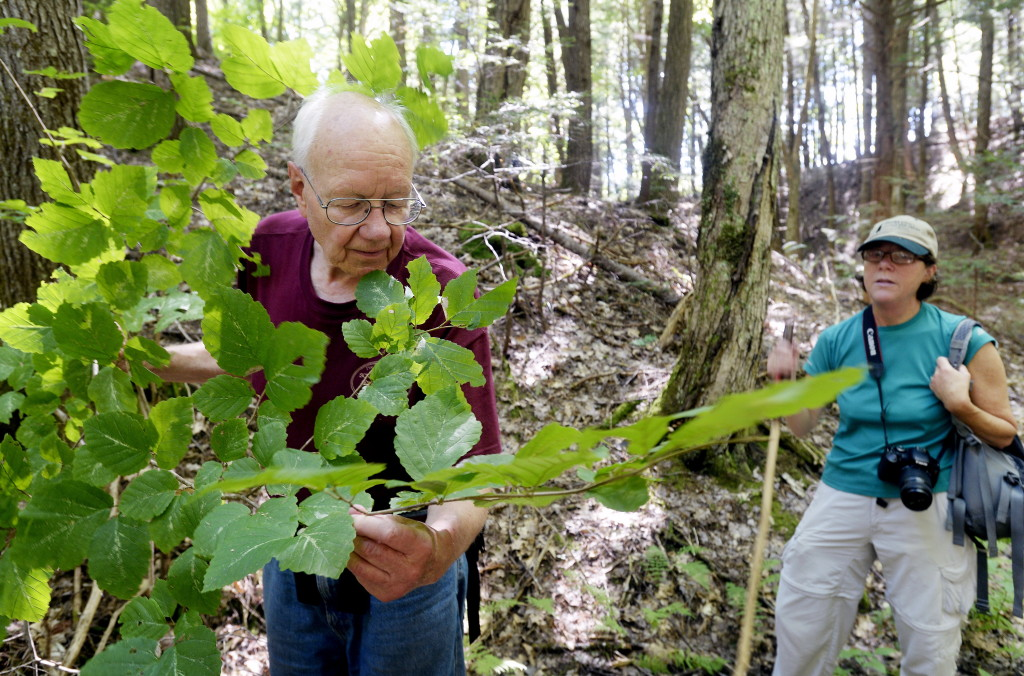 Bob Winship, a former president of the Greater Lovell Land Trust, looks over a witch hazel tree during a hike in the Kezar River Preserve in Lovell on Wednesday. To the right is Leigh Hayes, education director for the land trust.