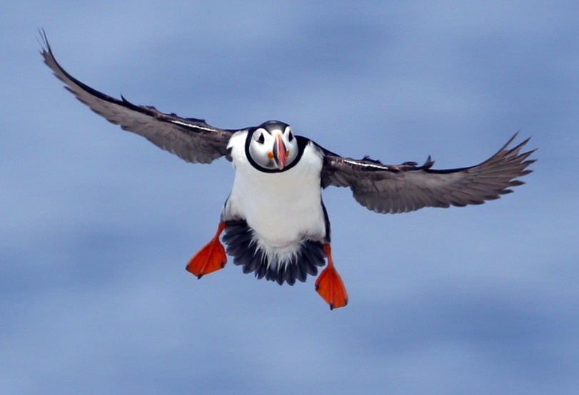 An Atlantic puffin comes in for a landing on Eastern Egg Rock, one of three small islands off the Maine coast where puffins nest. Researchers suspect that as herring and hake have sought colder waters, many puffin young are starving to death. The Associated Press