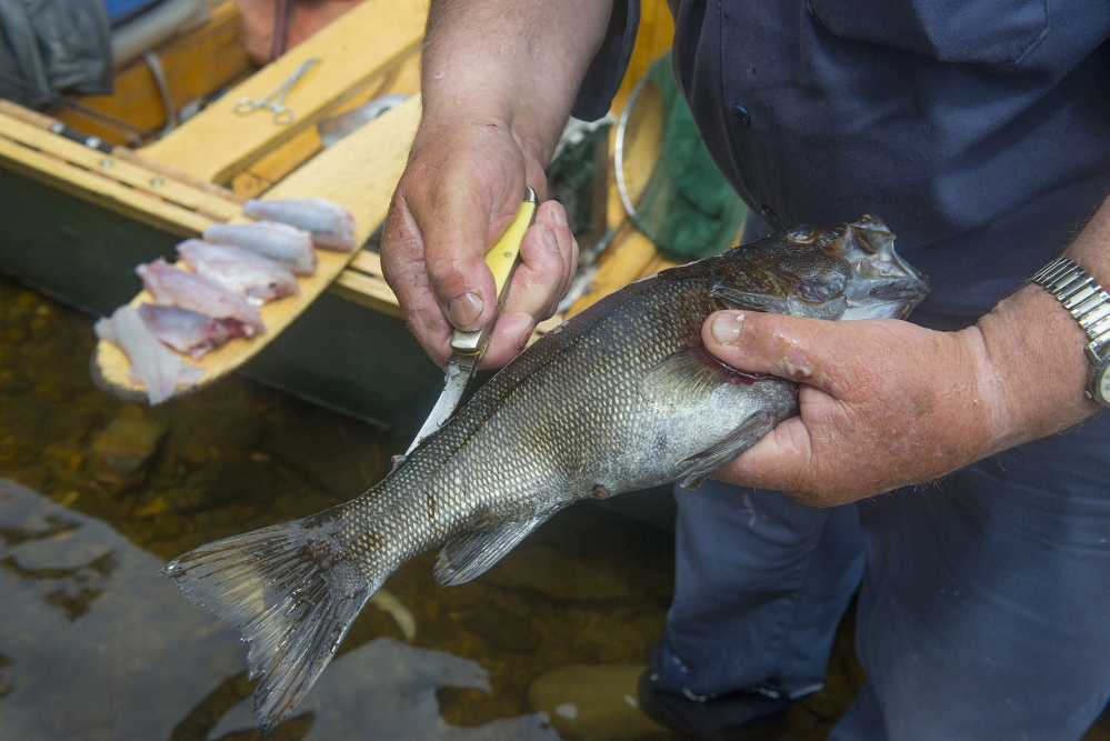 Guide Lance Wheaton cleans a bass that he will cook at a traditional shore lunch.