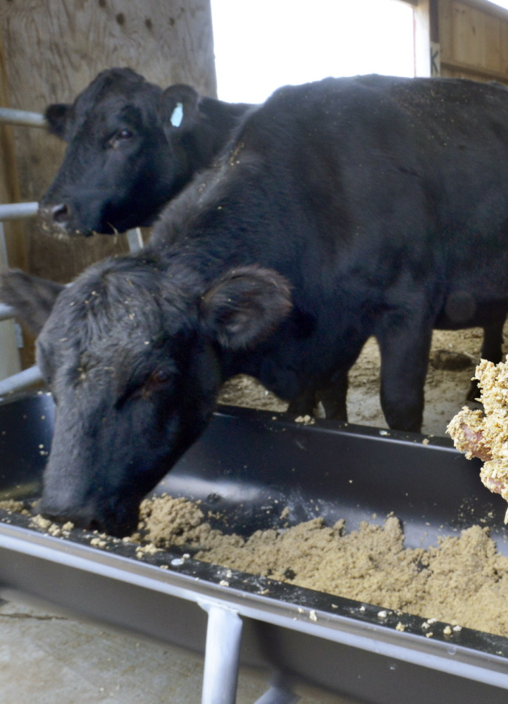 Steers at Norman Justice's Gorham cattle farm feed on spent grain obtained from the Allagash Brewery in Portland.