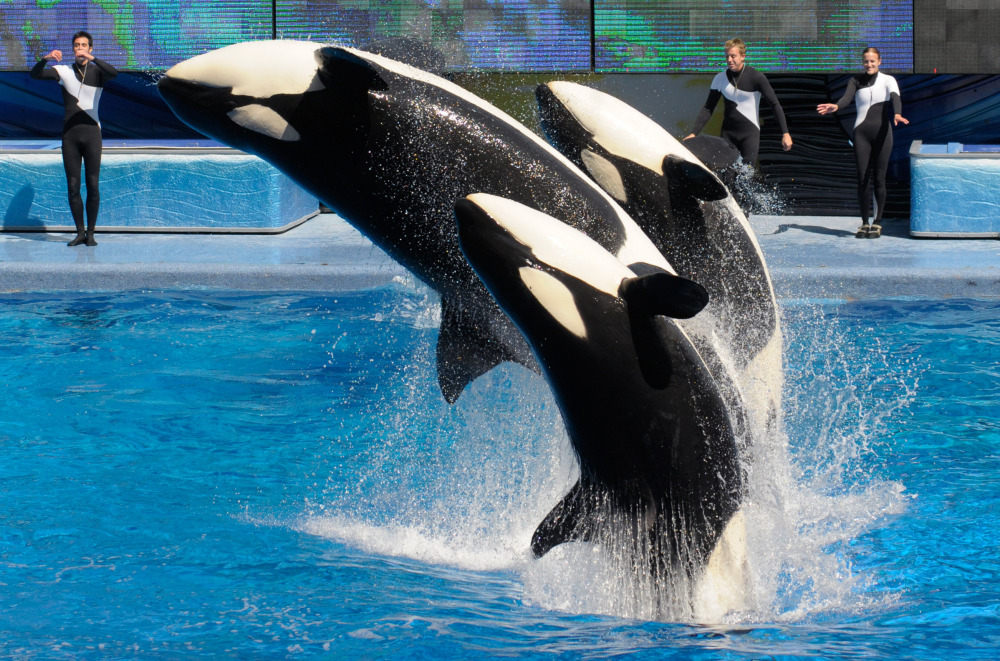 SeaWorld says it will end theatrical shows like this one at SeaWorld's Shamu Stadium in Orlando.