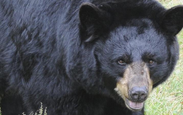 Maine's bear hunt starts Monday.