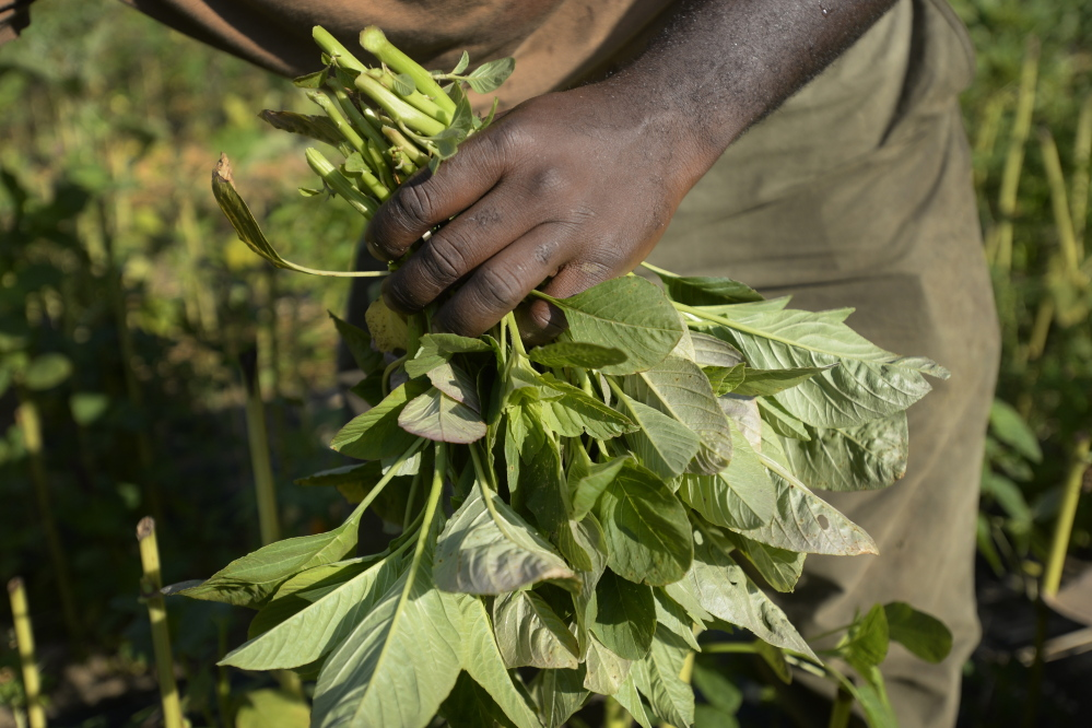 Alfred Matiyabo harvests amaranth Wednesday on land he farms in South Portland. He plants the crop specifically for Maine's growing community of African refugees.