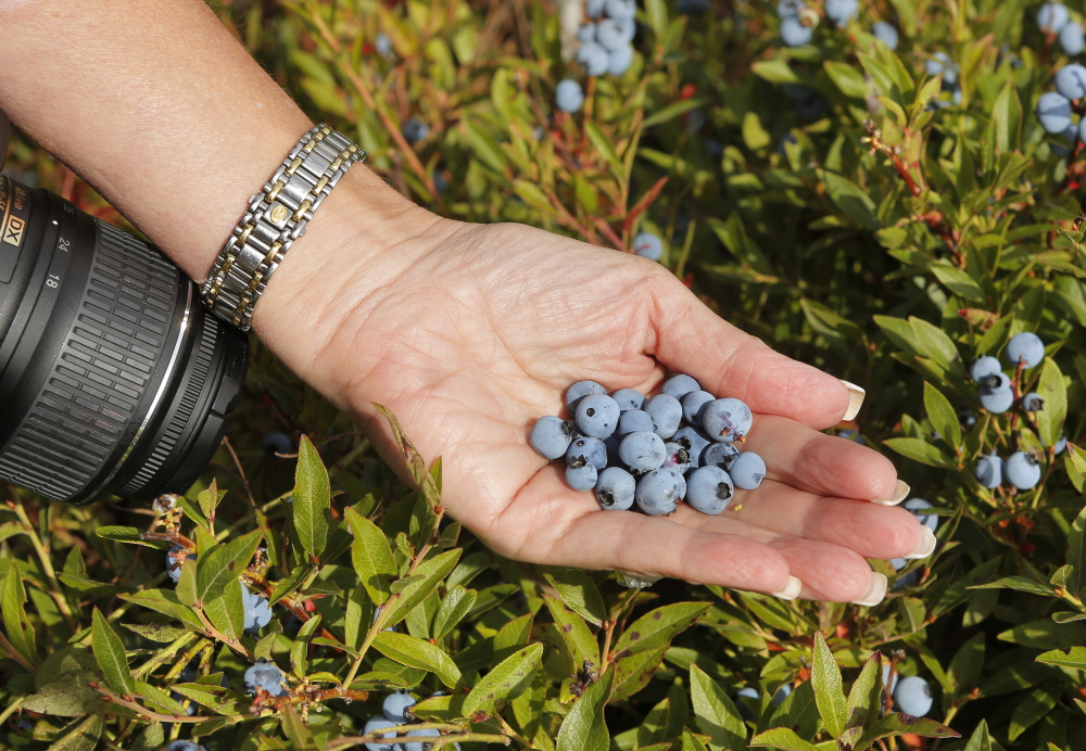 Susan Irby, also known as her blogger title The Bikini Chef, holds blueberries while visiting a blueberry barren near Cherryfield on Aug. 15. Gregory Rec/Staff Photographer