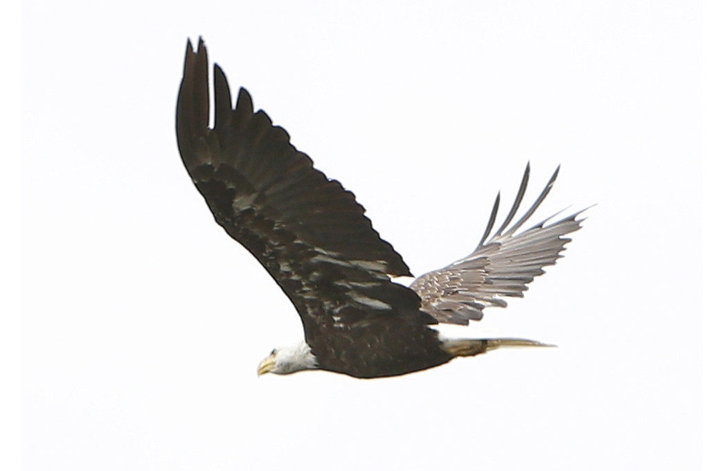 A bald eagle flies over the East Branch of Penobscot River near Lunksoos Camps. Numerous eagles can be seen along many parts of the river.