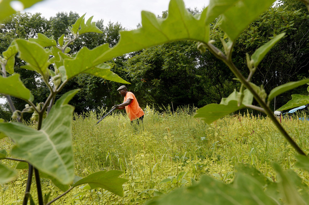 Matiyabo mows an area he is preparing to plant amaranth. He is framed through the leaves of African eggplant he is growing.