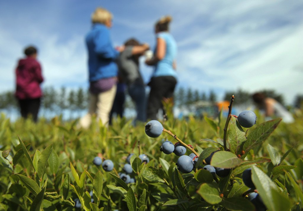 Food bloggers visit the blueberry barrens in Cherryfield.