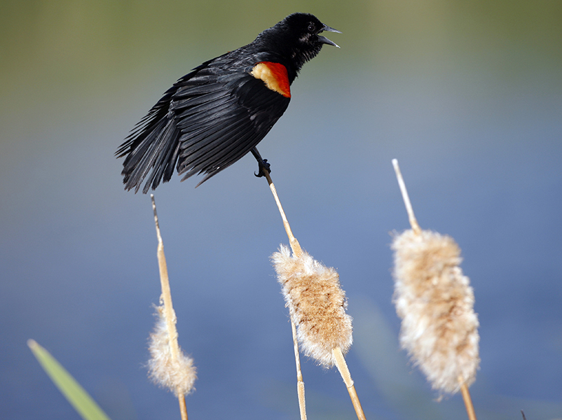 A red-winged blackbird hangs on to a cattail as heavy winds rake the area around the 15th green during the second round of the Senior PGA Championship gold tournament in Parker, Colo., May 28, 2010. The Associated Press
