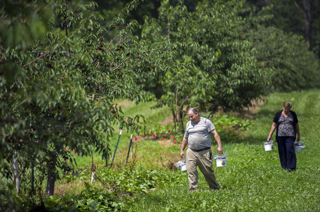 Visitors carrying buckets full of sweet red cherries through the cherry orchard at Orr's Farm Market in Martinsburg, W.Va
