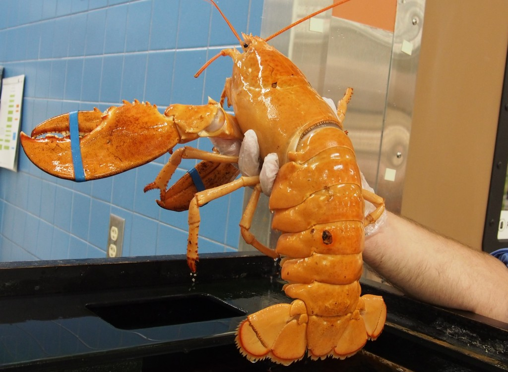 Marybeth Jeitner of Flagler Beach, Fla., bought this rare yellow lobster from a Publix supermarket and eventually got it to the Seacoast Science Center in Rye, N.H. Jeitner had no temptation to eat the 2.5-pound lobster – she's a vegan.