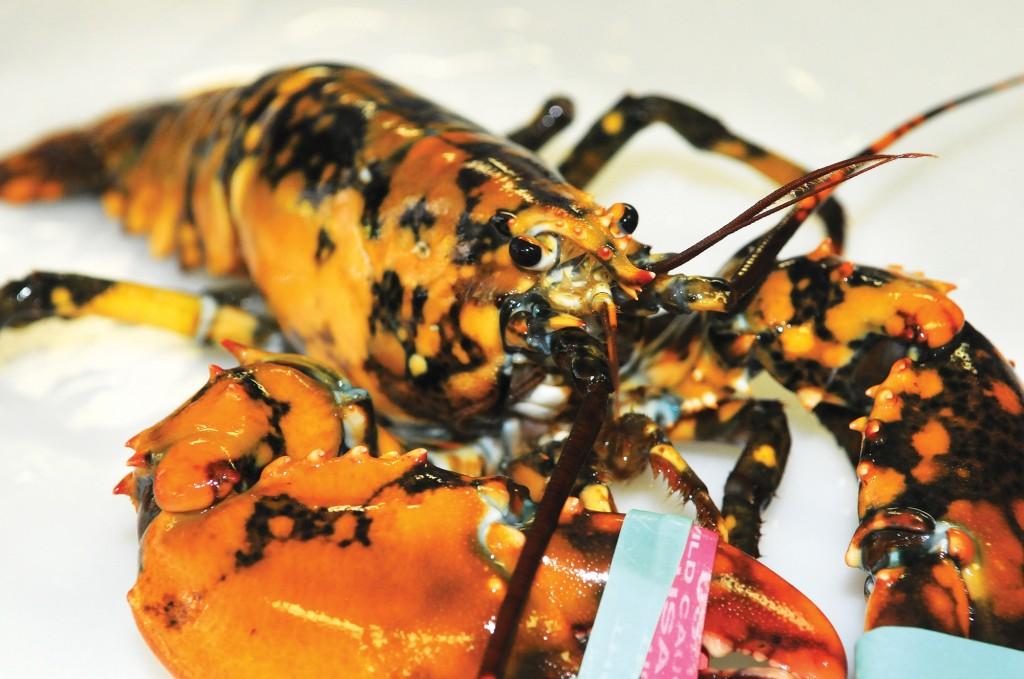 The calico lobster caught by Capt. Josiah Beringer, shown at Explore the Ocean World Oceanarium in Hampton, N.H.