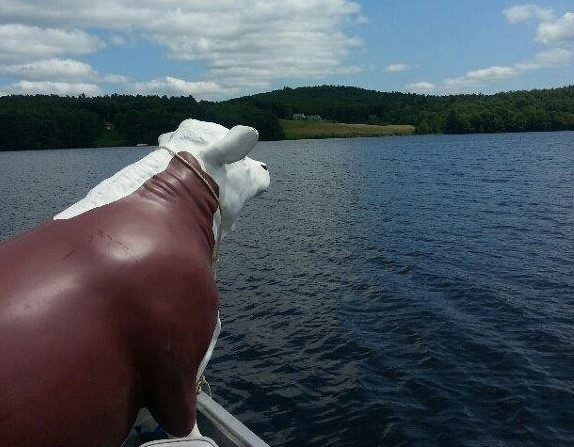 Charlie the steer gets a boat ride home, courtesy of the Maine Warden Service.