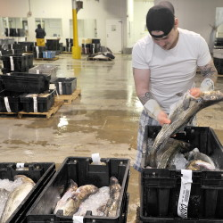 Fish buyer John Twiss inspects crates of fresh cod fish at the Portland Fish Exchange before Tuesday's auction. Fishermen say they are finding relatively large schools of cod while trying to catch other fish, such as pollock and hake.