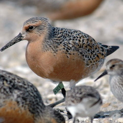"""Populations of the red knot are down as much as 75 percent since the 1980s, officials say. The birds are entitled to new federal protections with their """"threatened"""" status."""