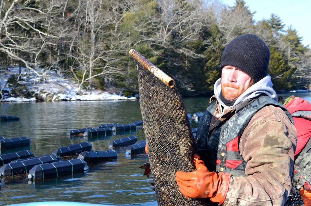 Nate Jones, who works for Mook Sea Farm, harvests bags of oysters from cages on the Damariscotta River in Maine on a bitter cold day this month.