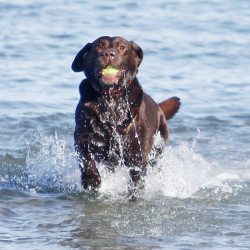 Cody, an 8-year-old chocolate Labrador retriever, fetches a ball thrown by owner Mike Yellen at Willard Beach on Sunday. Sen. David Dutremble wants to make the Labrador retriever the state dog.