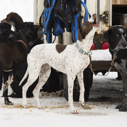 Some of Jocelyn Bradbury's (Frost Bite Racing in Oxford), dogs wait to pull skiers and dog sleds before a skijoring event at Roberts Farm Preserve in Norway.  Carl D. Walsh/Staff Photographer