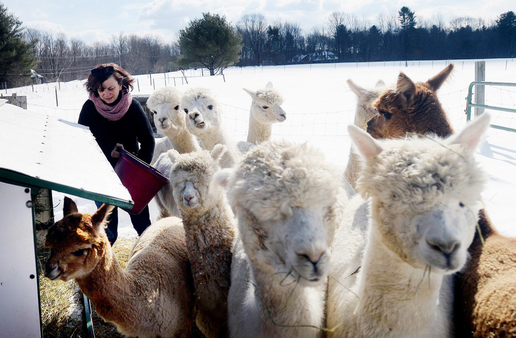 MacDonald puts grain out for her alpacas at Lana Plantae Farm in Buxton.