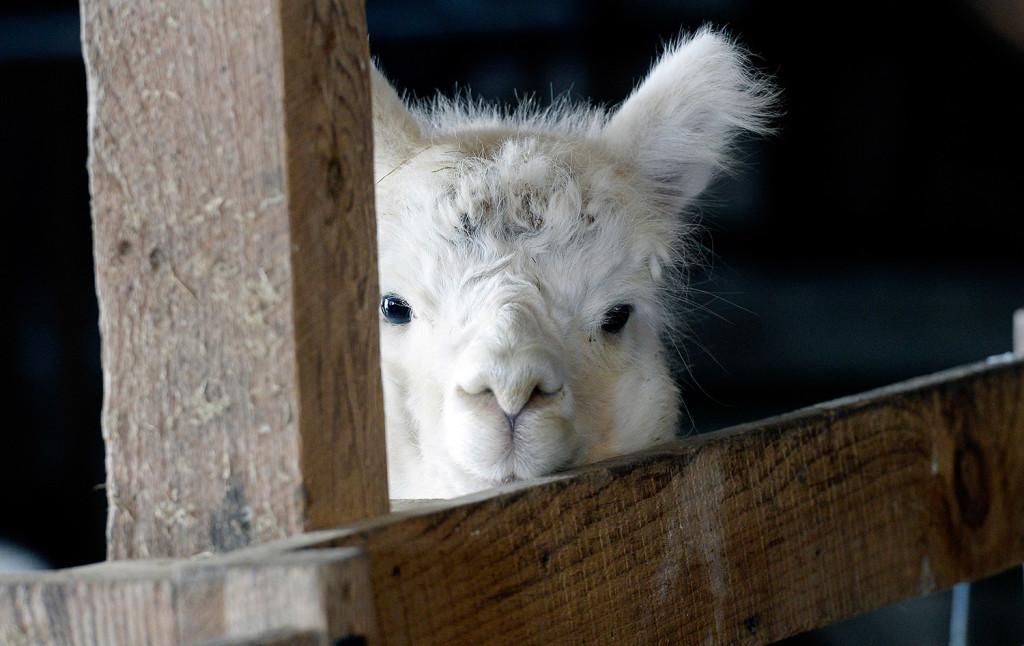 An alpaca in the barn at Lana Plantae Farm in Buxton.