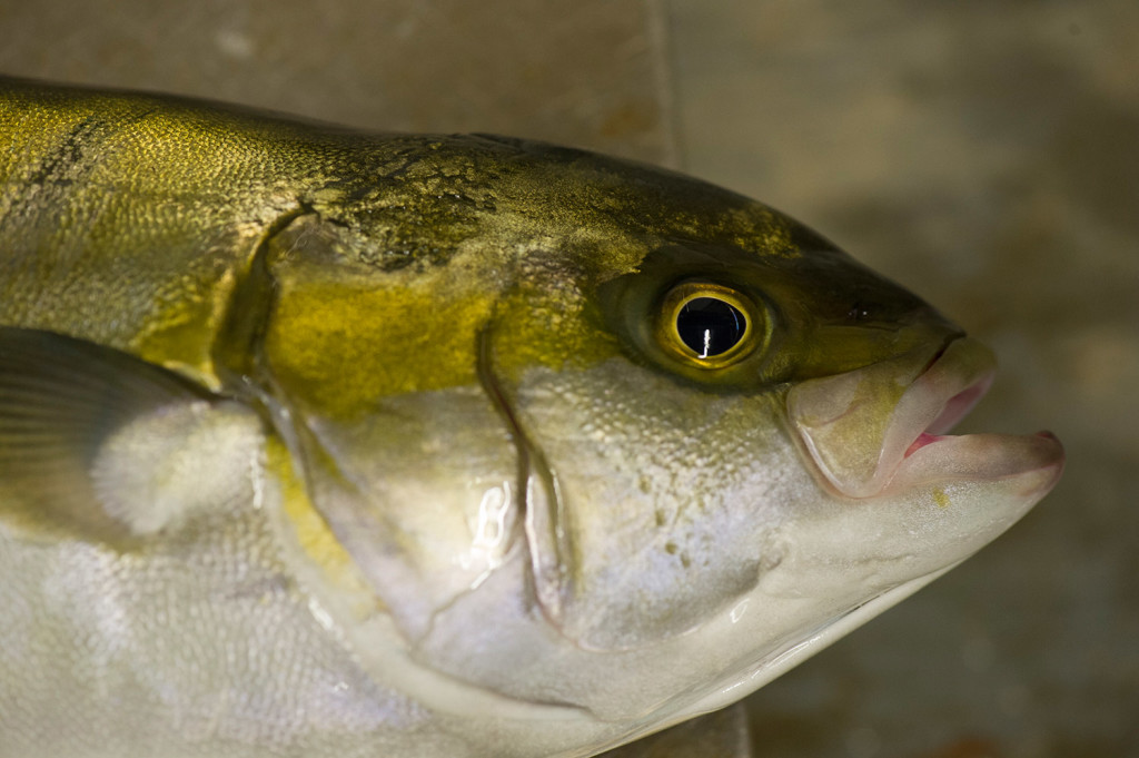 This yellowtail is a small adult. Adults weigh 4 to 35 pounds, depending on their age.