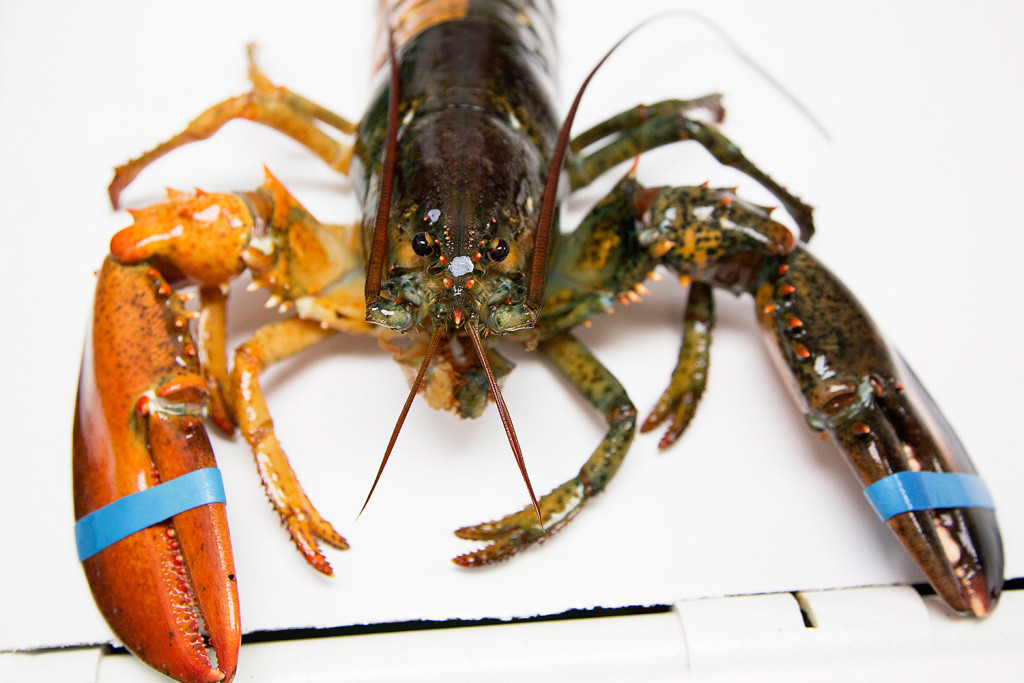 A claw view of the rare lobster shows the difference in color of its appendages. According to research by the Lobster Institute, the chances of finding a split colored lobster is one in 50 million. Only the albino lobster, one in 100 million, is rarer than the split-colored lobster, according to the institute.