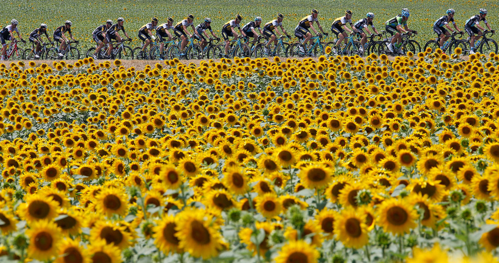 JULY 17: A group of riders cycle past a field of sunflowers during the ...